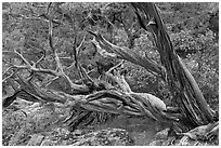 Twisted juniper trees. Black Canyon of the Gunnison National Park, Colorado, USA. (black and white)