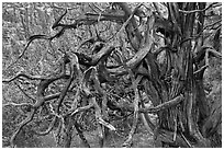 Twisted branches and tree. Black Canyon of the Gunnison National Park, Colorado, USA. (black and white)