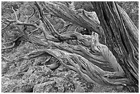 Twisted tree trunks. Black Canyon of the Gunnison National Park ( black and white)