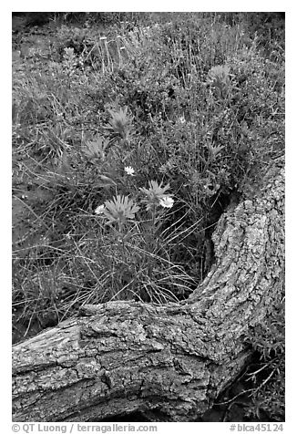 Fallen log and indian paintbrush. Black Canyon of the Gunnison National Park (black and white)