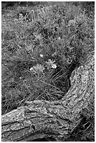 Fallen log and indian paintbrush. Black Canyon of the Gunnison National Park, Colorado, USA. (black and white)