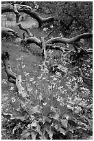 Flowers and fallen branches, High Point. Black Canyon of the Gunnison National Park, Colorado, USA. (black and white)