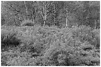 Spring flowers and forest. Black Canyon of the Gunnison National Park ( black and white)