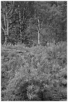 Lupine and aspens in the spring. Black Canyon of the Gunnison National Park, Colorado, USA. (black and white)