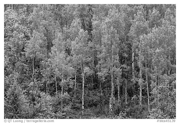 Aspens with spring new leaves. Black Canyon of the Gunnison National Park (black and white)