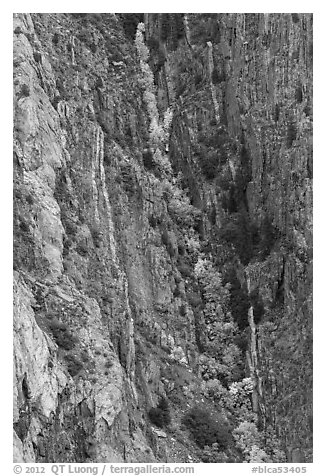Trees in autumn color in steep gully. Black Canyon of the Gunnison National Park (black and white)