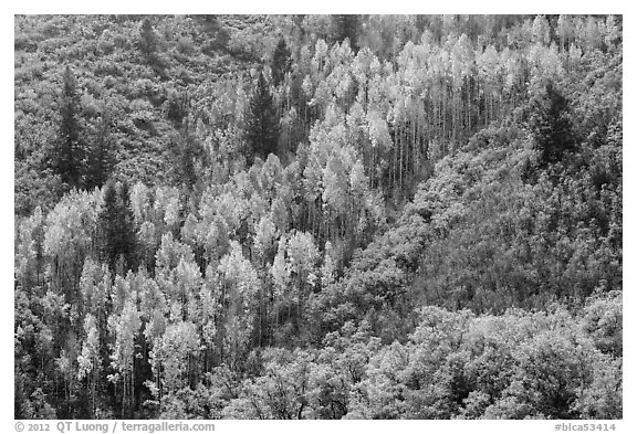 Slope with aspen in fall foliage. Black Canyon of the Gunnison National Park (black and white)