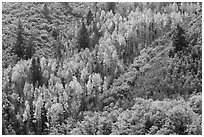 Slope with aspen in fall foliage. Black Canyon of the Gunnison National Park ( black and white)
