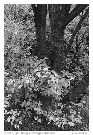Trunk and leaves in autumn, East Portal. Black Canyon of the Gunnison National Park (black and white)