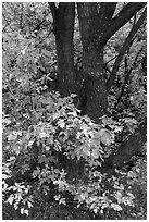Trunk and leaves in autumn, East Portal. Black Canyon of the Gunnison National Park ( black and white)