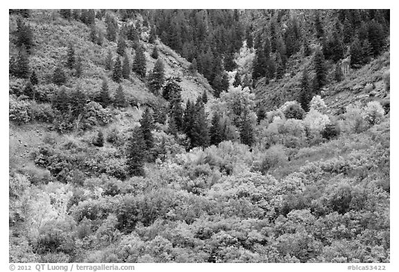 Shrubs in fall foliage and Douglas fir. Black Canyon of the Gunnison National Park (black and white)