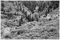 Shrubs in fall foliage and Douglas fir. Black Canyon of the Gunnison National Park ( black and white)