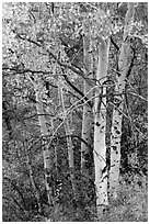 Aspen in fall. Black Canyon of the Gunnison National Park ( black and white)