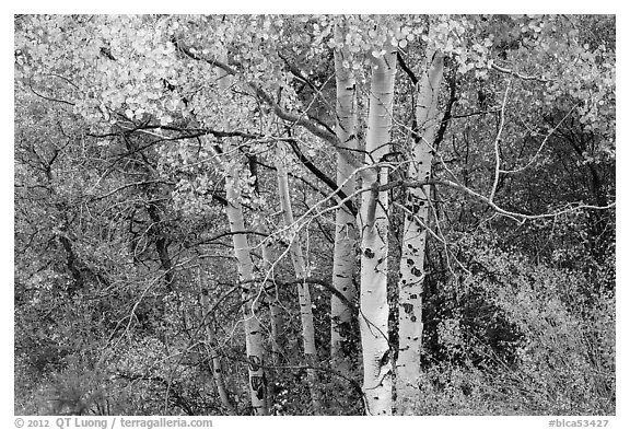 Aspen in autumn. Black Canyon of the Gunnison National Park (black and white)