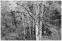 Aspen in autumn. Black Canyon of the Gunnison National Park, Colorado, USA. (black and white)