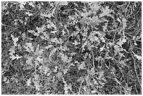 Gambel Oak and leaves. Black Canyon of the Gunnison National Park ( black and white)