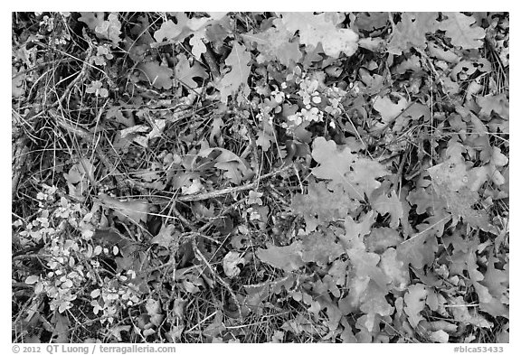 Close-up of Oak leaves in autumn. Black Canyon of the Gunnison National Park (black and white)