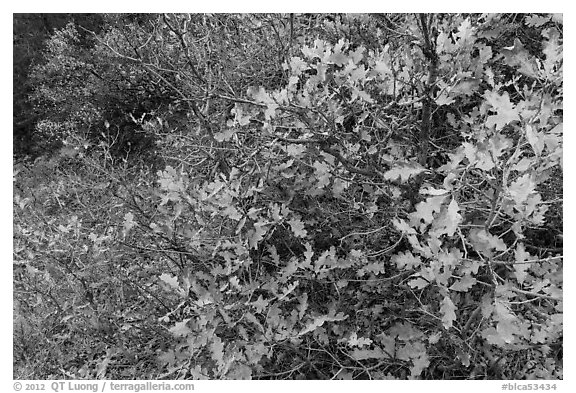 Gambel Oak thicket in the fall. Black Canyon of the Gunnison National Park (black and white)