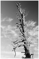 Bristlecone pine tree top. Bryce Canyon National Park, Utah, USA. (black and white)