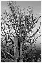 Bristlecone pine tree at sunset. Bryce Canyon National Park, Utah, USA. (black and white)