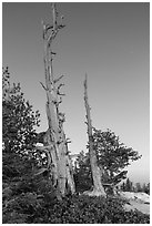 Bristlecone pine skeletons at dusk. Bryce Canyon National Park, Utah, USA. (black and white)