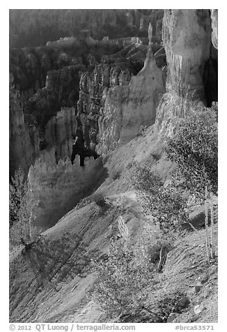 Young aspen in Bryce Amphitheater. Bryce Canyon National Park (black and white)