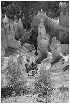 Aspen and Thors Hammer in autumn. Bryce Canyon National Park ( black and white)