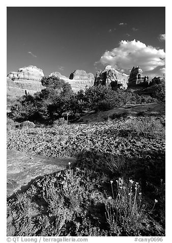 Wildflowers and sandstone towers near Elephant Hill, the Needles, late afternoon. Canyonlands National Park (black and white)
