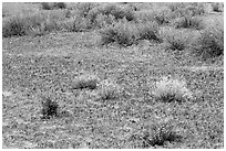 Cryptobiotic soil, desert flowers and shrubs. Canyonlands National Park, Utah, USA. (black and white)