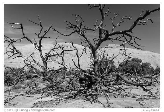 Dead juniper trees and Whale Rock. Canyonlands National Park (black and white)