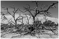 Dead juniper trees and Whale Rock. Canyonlands National Park, Utah, USA. (black and white)
