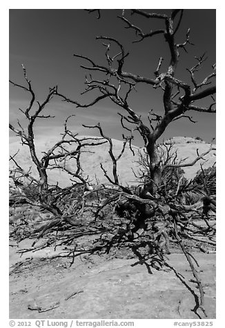 Tree skeletons and Whale Rock. Canyonlands National Park (black and white)