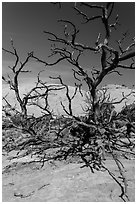 Tree skeletons and Whale Rock. Canyonlands National Park, Utah, USA. (black and white)
