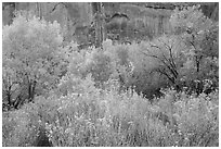 Autumn color in Horseshoe Canyon. Canyonlands National Park, Utah, USA. (black and white)
