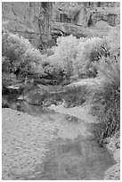 Cottonwoods in fall foliage reflected in creek, Horseshoe Canyon. Canyonlands National Park, Utah, USA. (black and white)