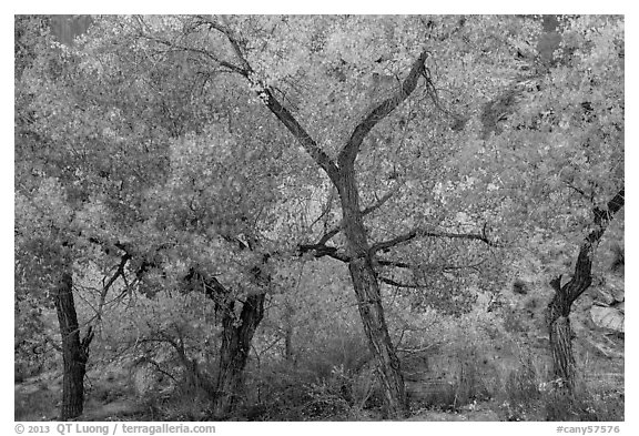 Grove Cottonwood trees in autumn, Horseshoe Canyon. Canyonlands National Park (black and white)