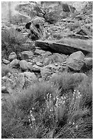 Wildflowers and rocks, the Maze. Canyonlands National Park ( black and white)