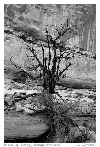 Juniper against canyon walls, Maze District. Canyonlands National Park (black and white)