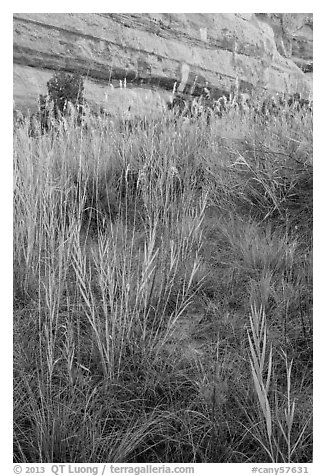 Paintbrush and tall grasses in canyon. Canyonlands National Park (black and white)