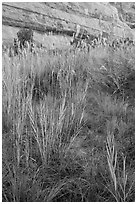 Paintbrush and tall grasses in canyon. Canyonlands National Park ( black and white)