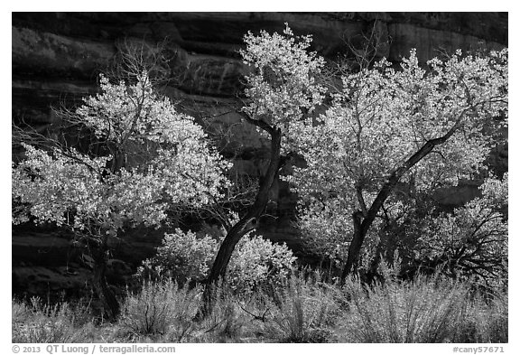 Cottonwood trees in autumn color in the Maze. Canyonlands National Park (black and white)