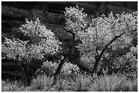 Cottonwood trees in autumn color in the Maze. Canyonlands National Park ( black and white)
