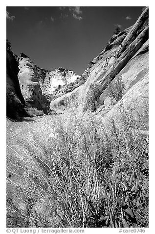 Wildflower in Capitol Gorge wash. Capitol Reef National Park (black and white)