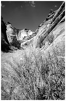 Wildflower in Capitol Gorge wash. Capitol Reef National Park ( black and white)