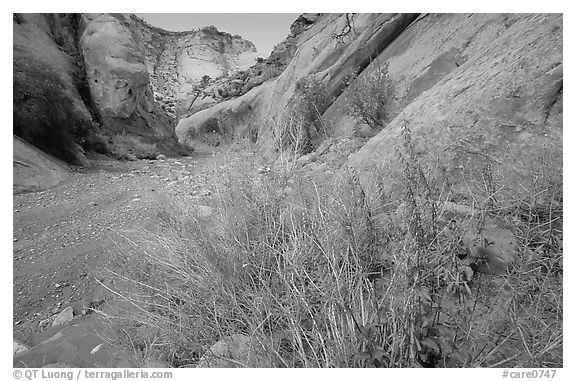 Wildflower in Wash in Capitol Gorge. Capitol Reef National Park (black and white)