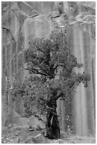 Tree and rock wall, Grand Wash. Capitol Reef National Park ( black and white)