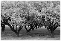 Fruit trees in Mulford Orchard. Capitol Reef National Park ( black and white)