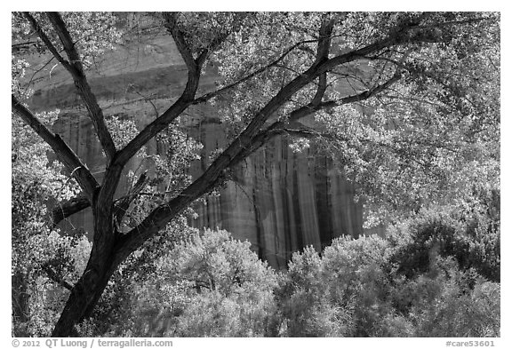 Cottonwood and red cliffs in late summer. Capitol Reef National Park (black and white)