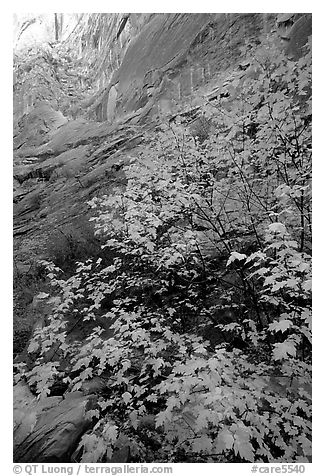Maple in Surprise canyon. Capitol Reef National Park (black and white)
