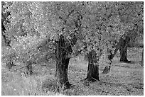 Orchard trees in fall foliage, Fuita. Capitol Reef National Park ( black and white)